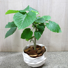 父の日 観葉植物